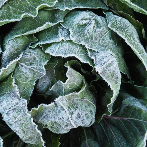 Cabbage head with frost