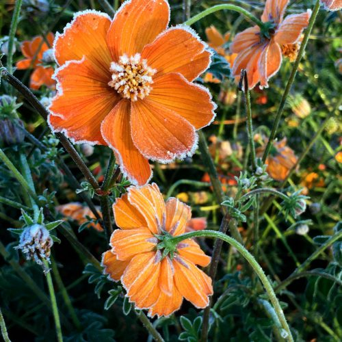 Orange cosmos flowers with frost