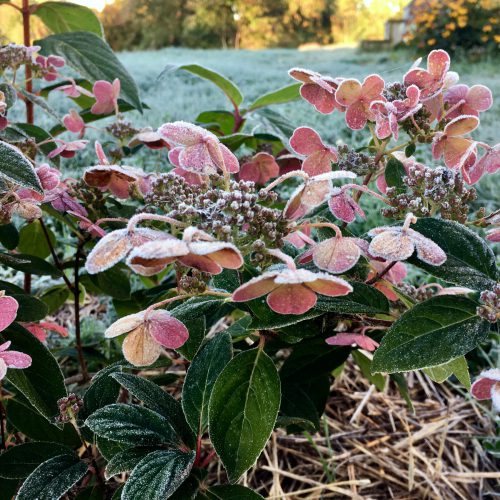 Hydrangea blossoms with frost