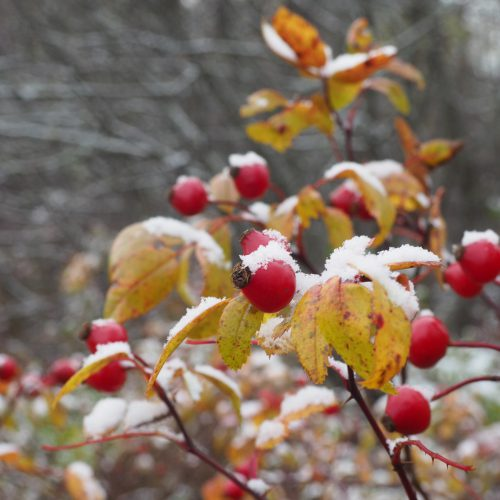 Red rose hips with snow