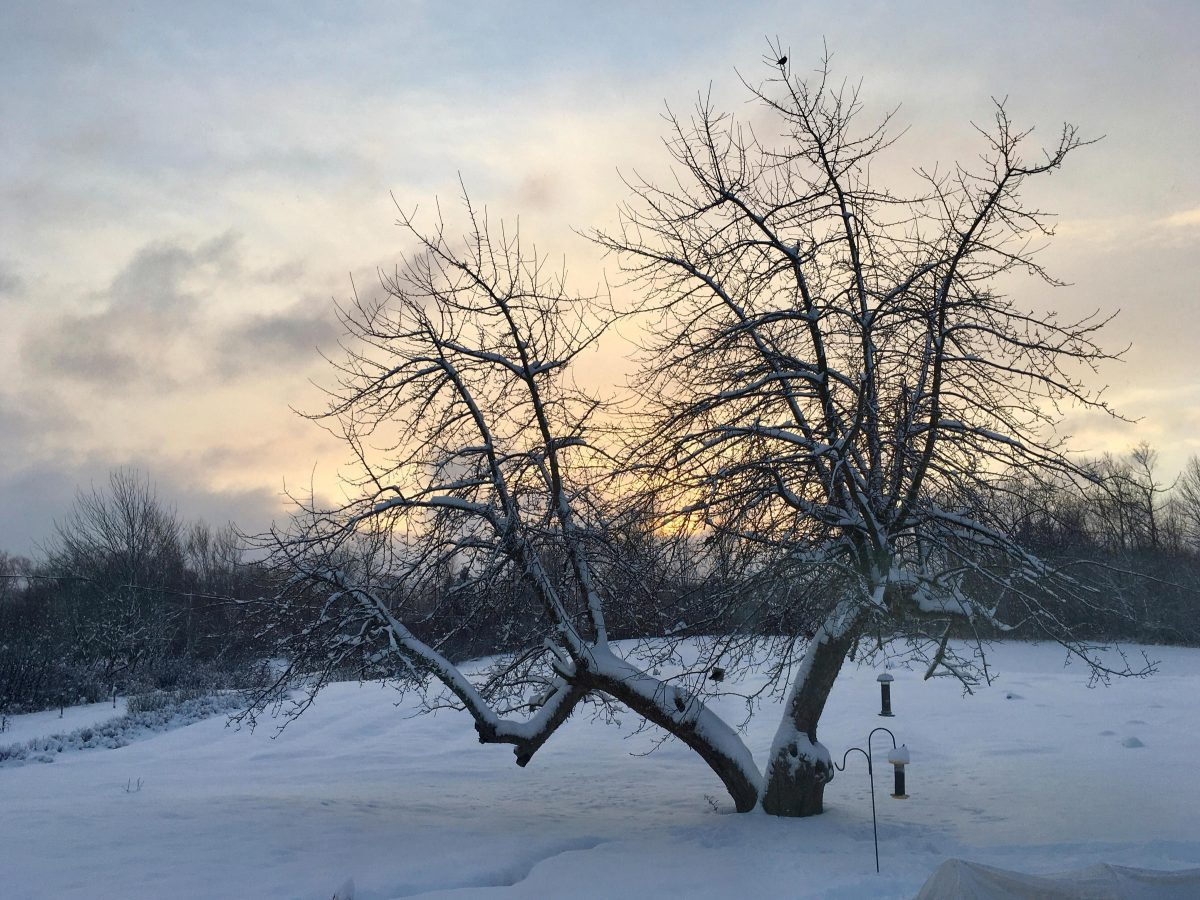 Bare apple tree mid-winter with bird feeders at lower branches and a bird perched near the top, dusk light
