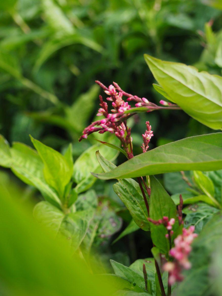 Indigo plant in flower